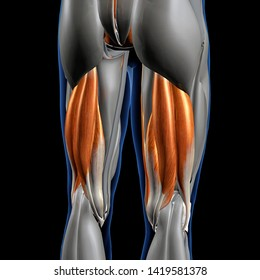 Hamstring Muscles Isolated, 3D Rendering of Male Posterior on Black