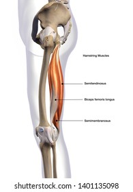 Hamstring Muscles Labeled Lateral View, 3D Rendering