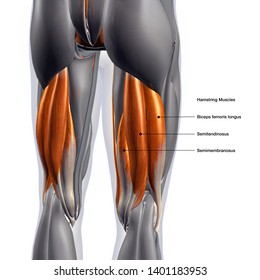 Hamstring Muscles Labeled, Male Posterior, 3D Rendering