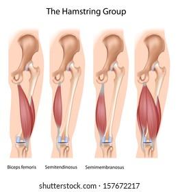 The hamstrings