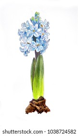 Hand draw blue Hyacinth