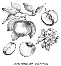 Hand drawing apples on apple tree branch.