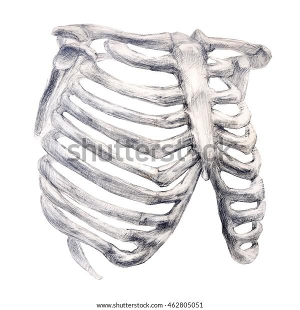 Hand Drawing Bone Skeleton Anatomical Drawing Stock Illustration 462805051