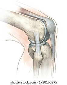 Hand drawing illustration showing human knee joint with femur, articular cartilage, meniscus, medial collateral ligament, articular cartilage, patella, kneeecap, fibula, tibia, quadriceps tendon