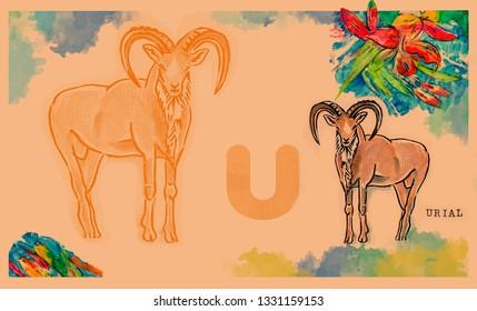 hand drawn animal for English alphabet , Urial