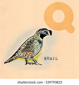 hand drawn animal for English alphabet , Quail