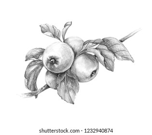 Hand drawn apple  branch isolated on white background. Monochrome sketch of fruit. Pencil drawing.