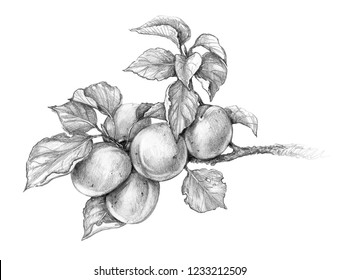Hand drawn apricot branch isolated on white background. Monochrome sketch of fruit. Pencil drawing.