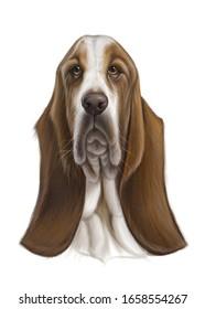 hand drawn basset hound portrait