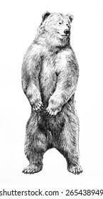 A hand drawn bear is standing on hind legs and facing forward and isolated on a white background. This wild animal sketch is a detailed illustration showing sharp claws and shaggy fur.