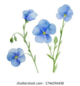 Hand drawn beautiful watercolor Flax Flower. 600 DPI