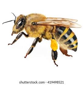 hand drawn bee illustration
