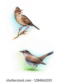 Hand drawn bird set illustration. Drawing watercolor. Nightingale-bastard (cettia cetti) Eurasian lark sings on a branch