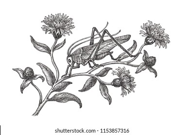 Hand drawn black and white illustration, grasshopper and cornflowers blooming.