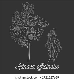 Hand Drawn Bush of Marsh-Mallow with Roots made as Painted with White Chalk on the Blackboard. Herbal with Latin Name Althaea officinalis. Herbal Medicine and Food Industry Component.