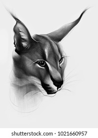 Hand drawn caracal . Ballpoint pen drawing. African lynx. Classic drawing.