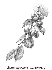Hand drawn cherry branch with berries and leaves isolated on white background. Monochrome sketch of fruit. Pencil drawing.