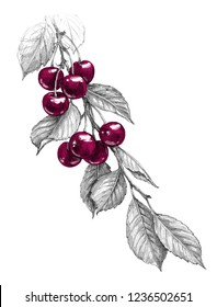 Hand drawn cherry branch with red berries and monochrome leaves isolated on white background. Pencil drawing realistic sketch of fruit.