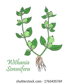 Hand Drawn Colored Bush of Ashwagandha Isolated on the White Background. Sketch Style Illustration. Herbal with Latin Name Withania Somnifera. Leaflet for Traditional Indian Herbal Medicine.