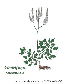 Hand Drawn Colored Bush of Black Snakeroot Isolated on the White Background. Herbal with Latin Name Cimicifuga Racemosa. Sketch Style  Illustration. Component for Traditional Herbal Medicine