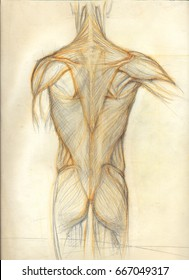 Hand drawn colored illustration of the torso muscles, original artistic anatomy graphic sketch over an obsolete paper with spots, back view