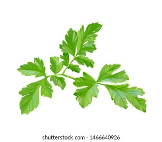 Hand drawn digital illustration in watercolor style. Ripe realistic parsley, perfect rendered vegetables isolated on the white background - Illustration