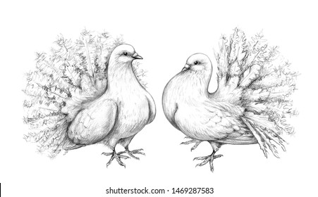 Hand drawn doves couple isolated on white background. Two pigeons with peacock tails pencil drawing