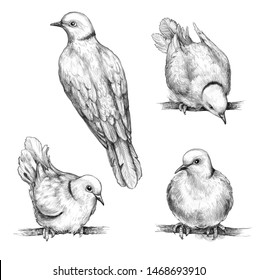 Hand drawn doves isolated on white background. Front and back view pigeons sitting on branches pencil drawing