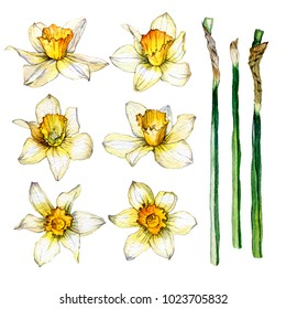 hand drawn Easter set consisting of daffodil flowers and stems
