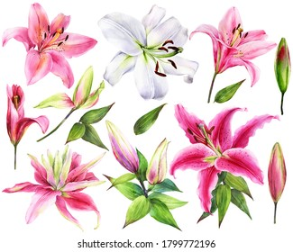 Hand drawn elegant lilies, white, pink lily flowers on an isolated white background, watercolor flower, stock illustration, big collection, set.