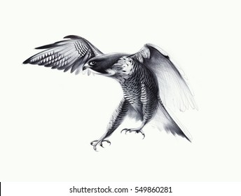 Hand drawn falcon detailed. Ballpoint pen drawing.