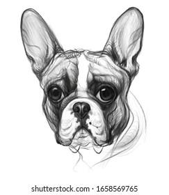 hand drawn french bulldog portrait