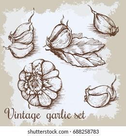 hand drawn garlic set. Vintage retro background with hand drawn sketch garlics. Kitchen herbs and spices illustration
