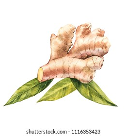 Hand Drawn Ginger watercolor sketch. Illustration For Food Design.