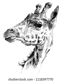 Hand drawn giraffe illustration. Wild animal drawing