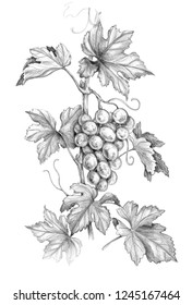 Hand drawn grape branch with bunch and leaves isolated on white background. Monochrome sketch of grapes. Pencil drawing.