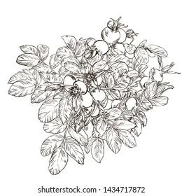 Hand drawn graphic flower dog rose line up