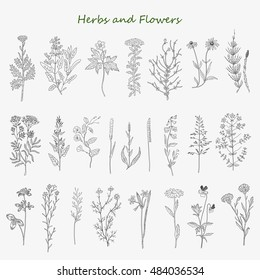 Hand drawn herbs and flowers set of sketches. Vintage design with medicinal herbs and wild flowers illustration.