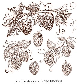 hand drawn hops collection isolated on white. hop illustration with leaves, branches and cones in engraving vintage style with curly tendrils. great for packing, beer label design, pub emblem