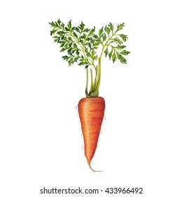 Hand drawn illustration of carrot