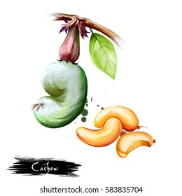 Hand drawn illustration of Cashew nut or Anacardium occidentale isolated on white background. Organic healthy food. Digital art with paint splashes effect. Graphic clip art for design, web, print.