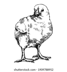 Hand drawn illustration of engraving chick. Chicken farm animal sketch, isolated on the white background. Vintage style. Can be used for textile printing, Easter card, poster.