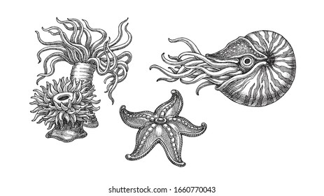 Hand drawn  illustration in the engraving style, sea animals on white. Sea anemones, starfish and mollusc Nautilus.
