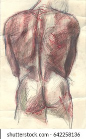 Hand drawn illustration of a human male trunk, original artistic sketch over an obsolete paper, back view