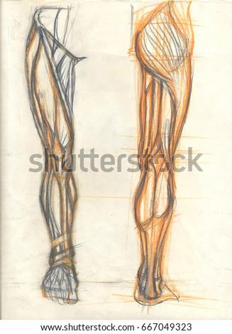 Hand Drawn Illustration Leg Muscles Original Stock Illustration