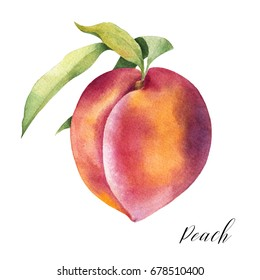 Hand drawn illustration of peach. Watercolor isolated fruit sketch.