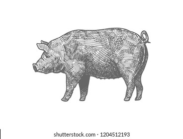 Hand drawn illustration of pig in vintage engraved style. Isolated on white background.