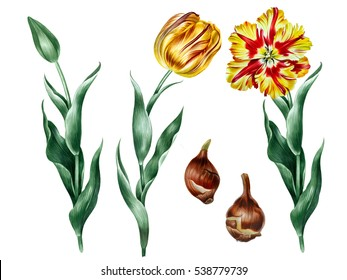 Hand drawn illustration of yellow parrot tulips. set of yellow flowers with green leaves, bud and bulbs.