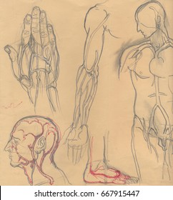 Hand drawn illustrations of different human body parts emphasizing the blood vessels, artistic anatomy graphic sketches on obsolete light brown paper