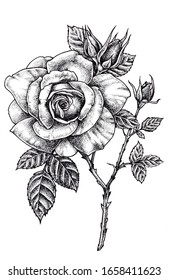 Hand drawn monochrome blooming rose, Vintage style, Botanical illustration.